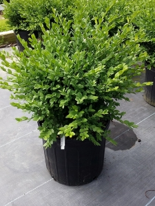 Buxus Green Mt 3g.