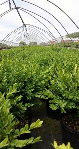 Buxus Green Mt 3g. group