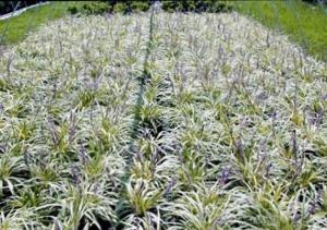 Liriope variegata 1g.