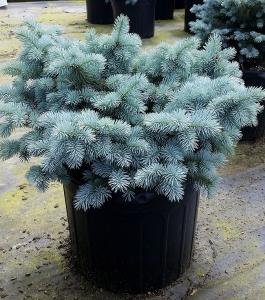 Picea glauca Globosa 7g.