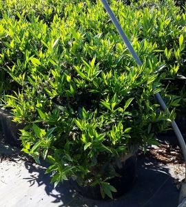 Prunus Otto Luyken 10g.