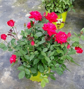 Rose Double Knockout 3g.