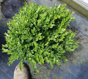 Buxus Green Velvet 3g.