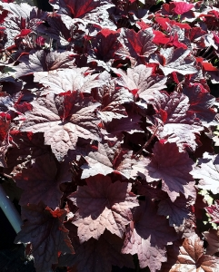 Heuchera Purple Palace 2g.
