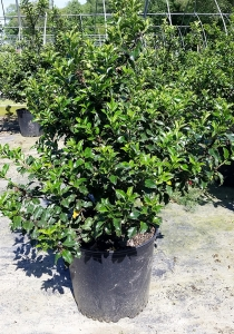 Ilex Blue Princess 3g.