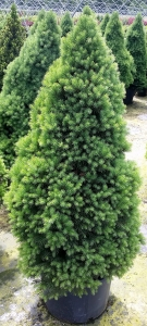 Picea Dwf. Alberta 5g.