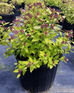 Spirea Magic Carpet 3g.