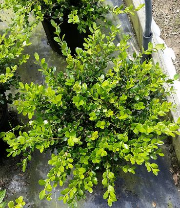 Buxus Winter Gem 3g.